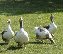 De rugende gæs kommer på græs en gang om dagen